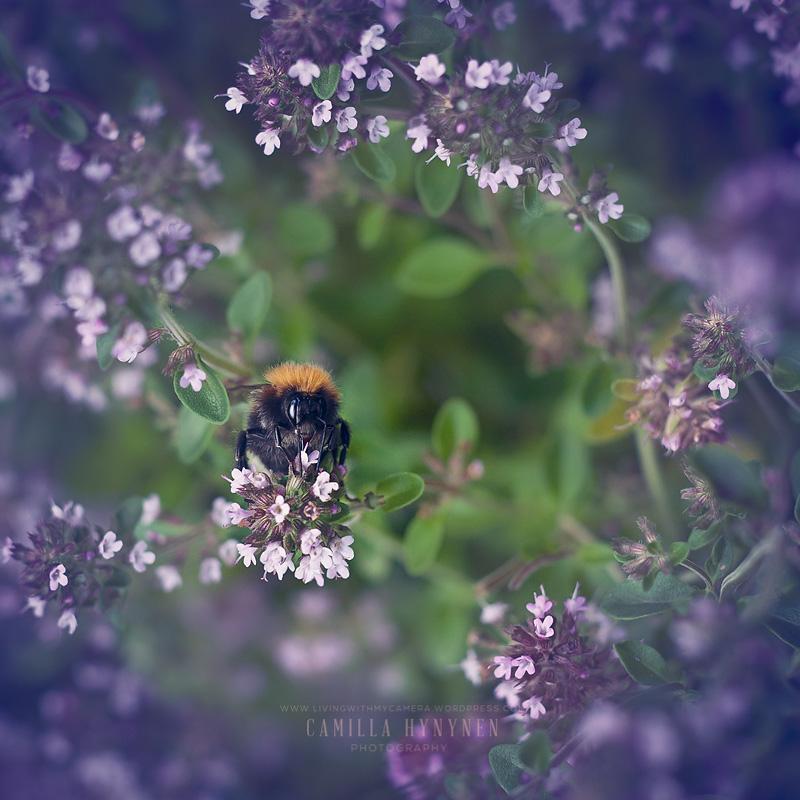 Bumble-bee-008-blogg