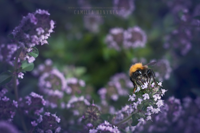 Bumble-bee-020-blogg