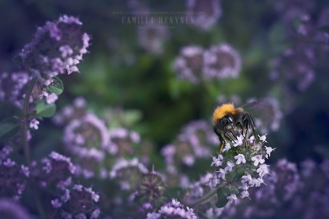 Bumble-bee-020-blogg