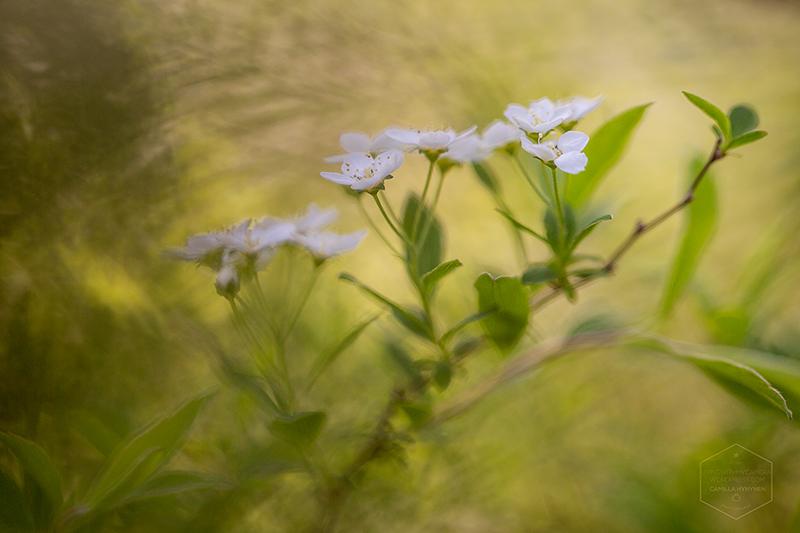 blomsterbuske-5-webb