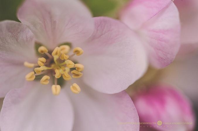 Äppelblom-26.5