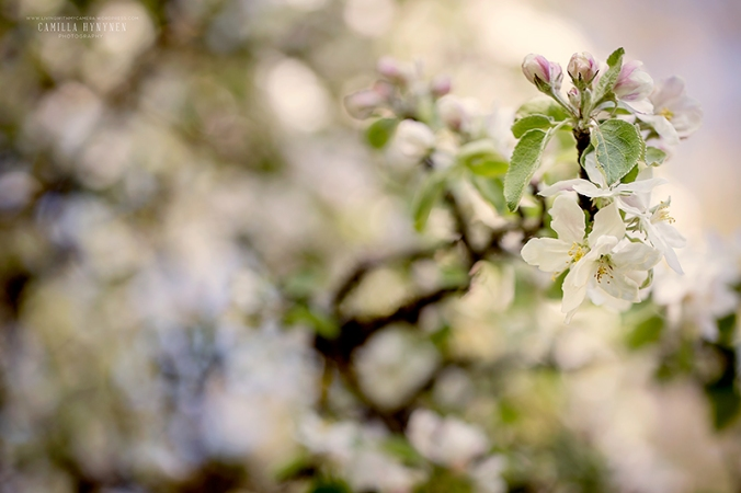 äppelblom-6