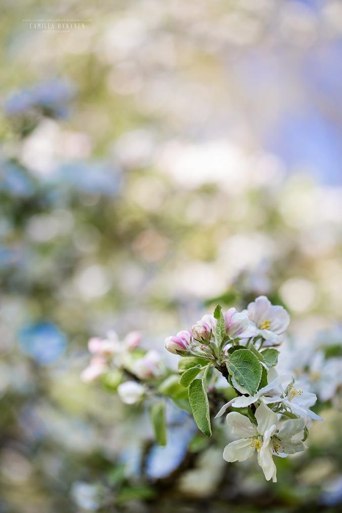 Äppelblom-7
