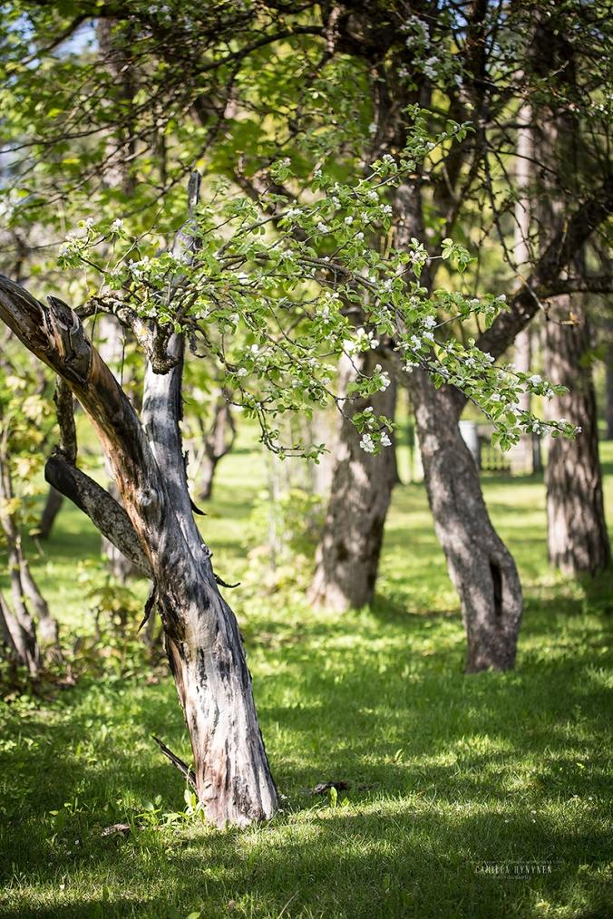 äppelträd-2