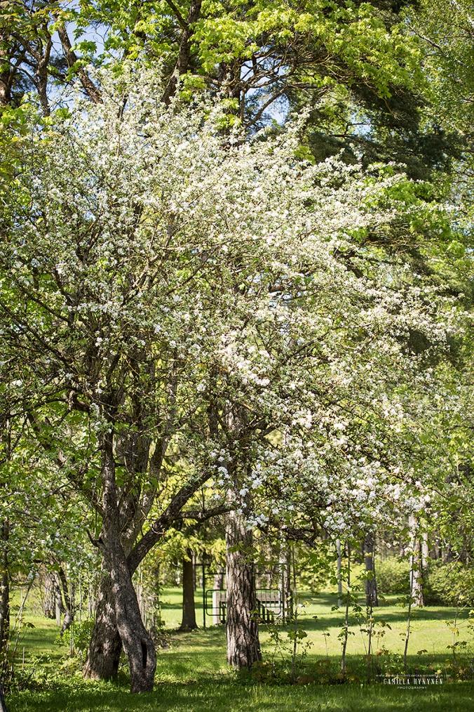 äppelträd1