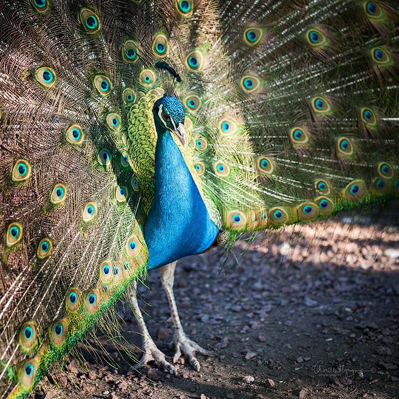 påfågel-Blogg