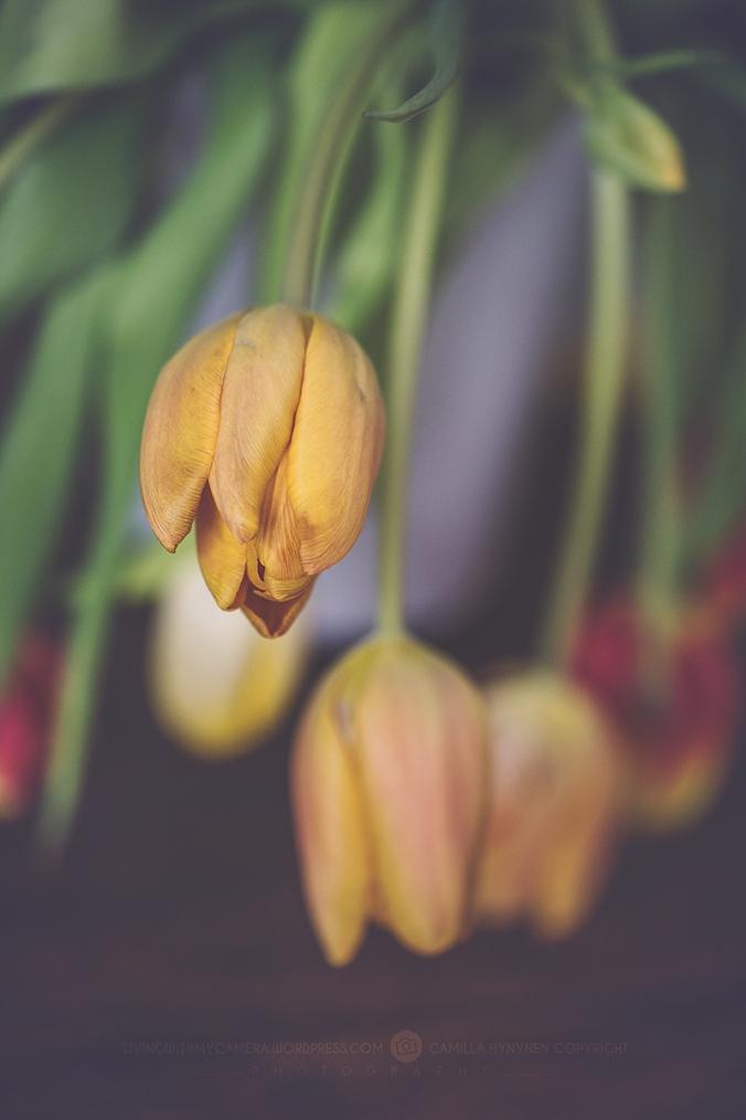 tulips-002