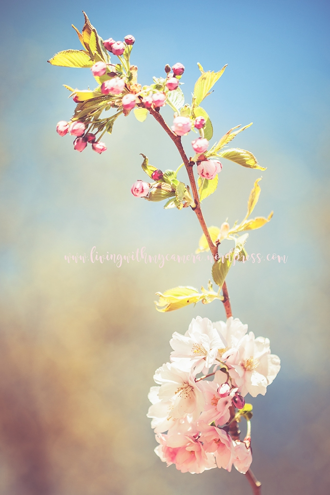 Åstranden--körsbärsblom-13