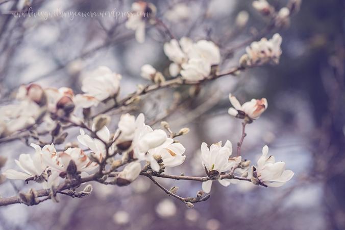 Magnolia-092