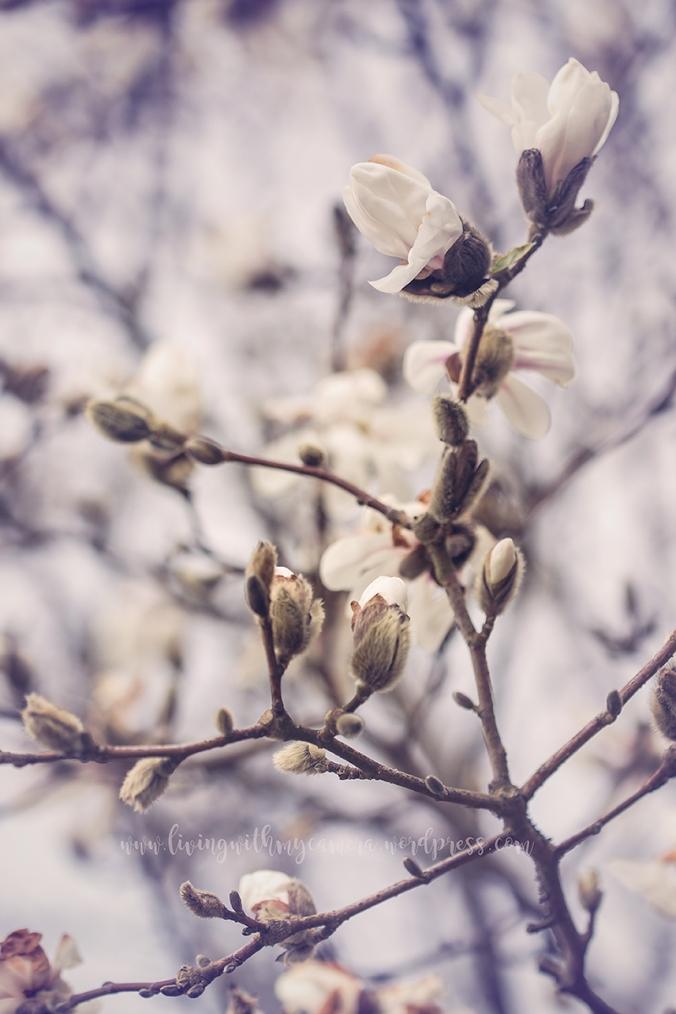 Magnolia-093
