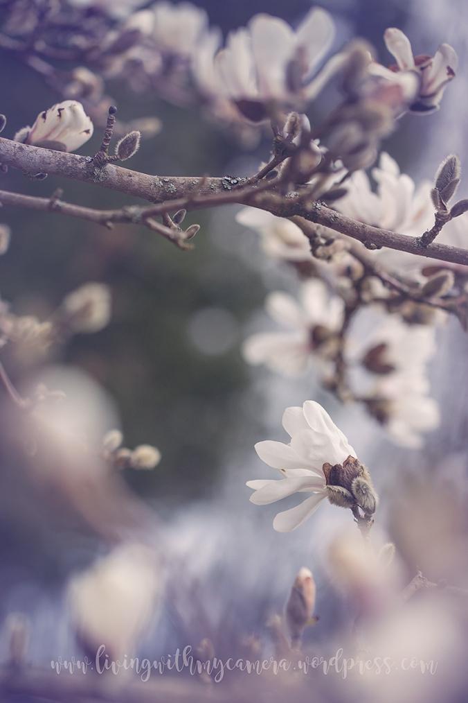 Magnolia-098