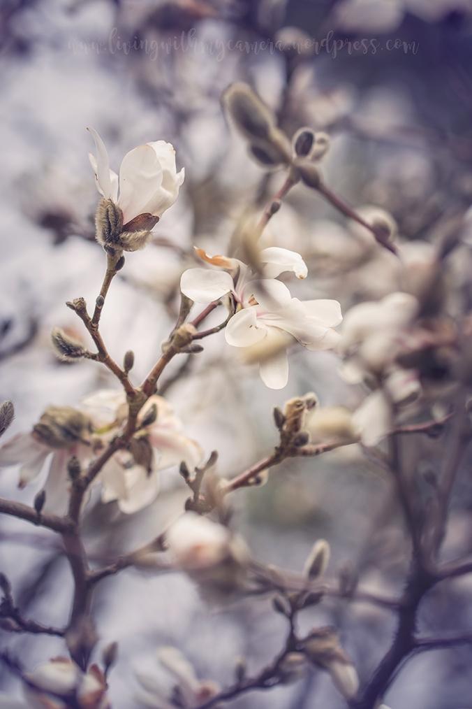 Magnolia-112