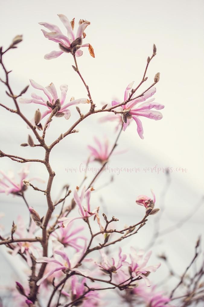 Magnolia-150