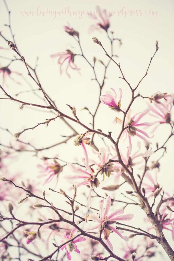 Magnolia-163