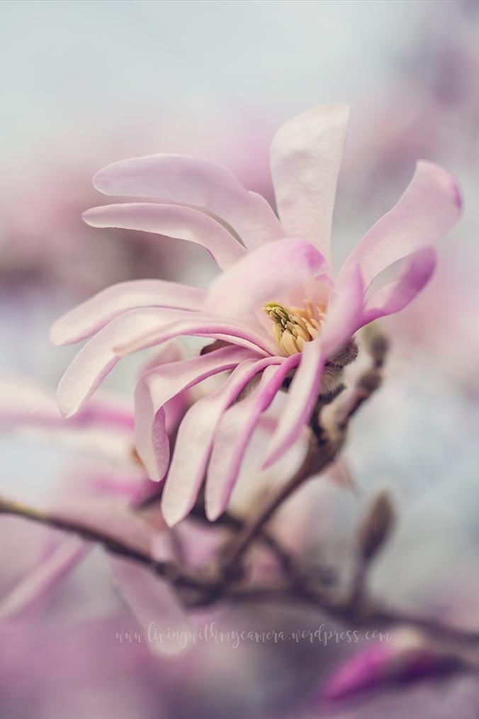 Magnolia-166