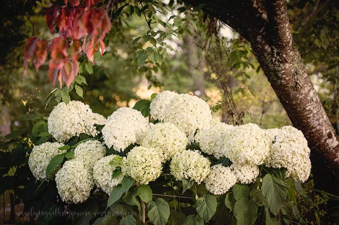 Runsala-hortensia