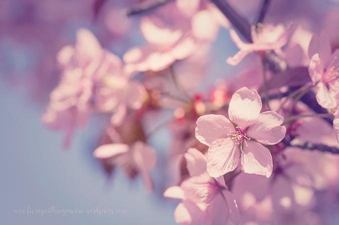Cherry-blossom-turku-2018-019