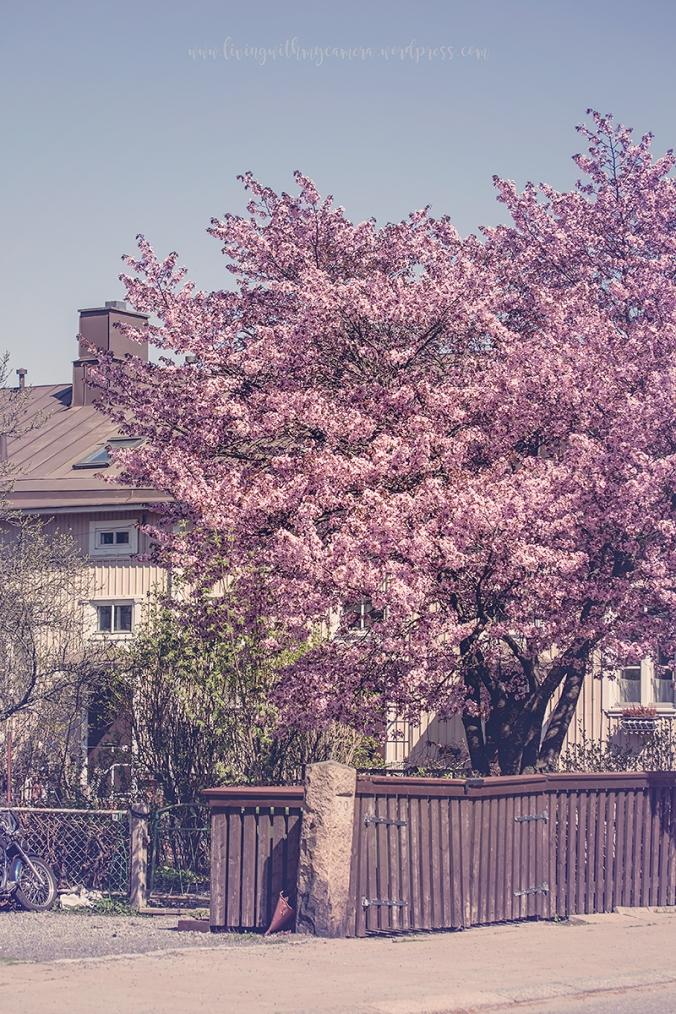 Cherry-blossom-turku-2018-043