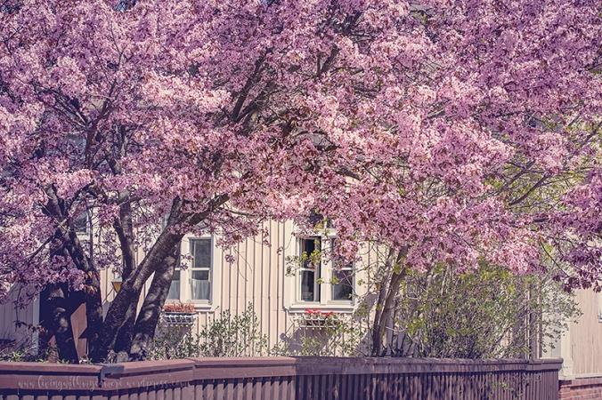 Cherry-blossom-turku-2018-045