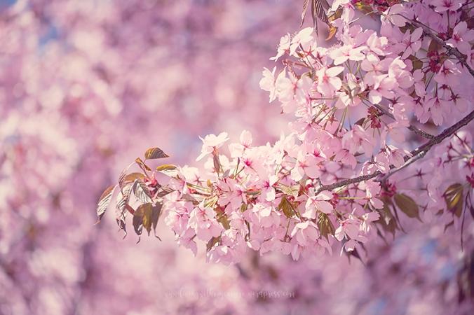 Cherry-blossom-turku-2018-076