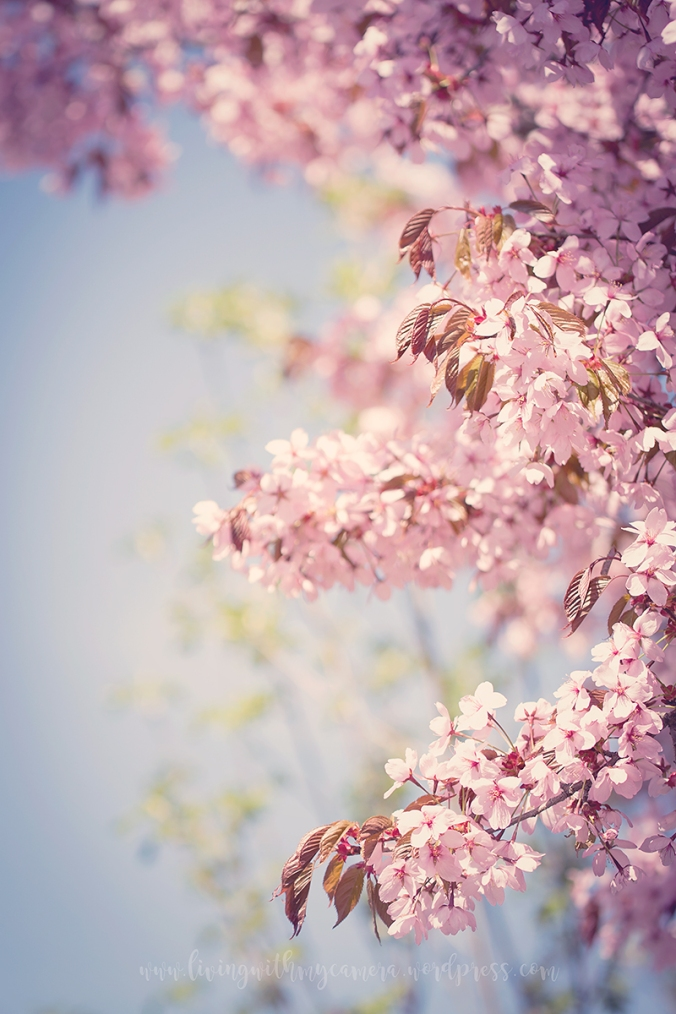 Cherry-blossom-turku-2018-088