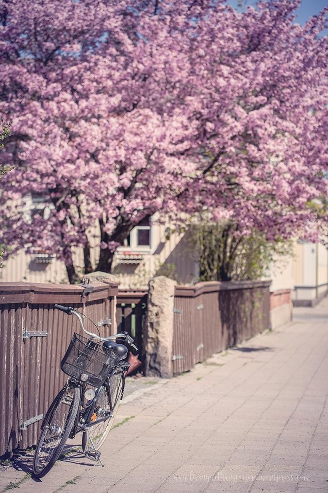 Cherry-blossom-turku-2018-099