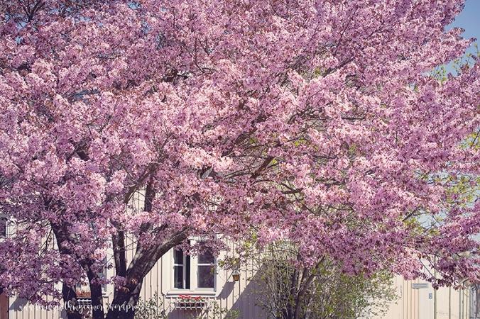 Cherry-blossom-turku-2018-106